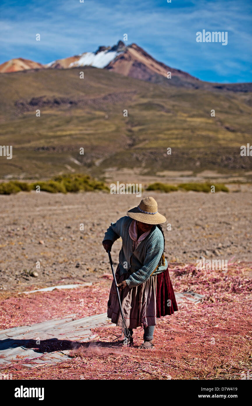 Farming quinoa, a super food, on the Bolivian Altiplano, Bolivia, South America - Stock Image