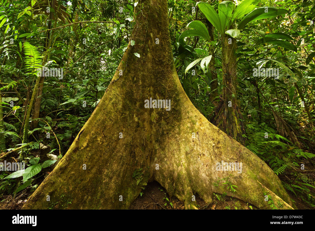 Buttress root in jungle at Arenal Hanging Bridges, La Fortuna, Alajuela Province, Costa Rica - Stock Image