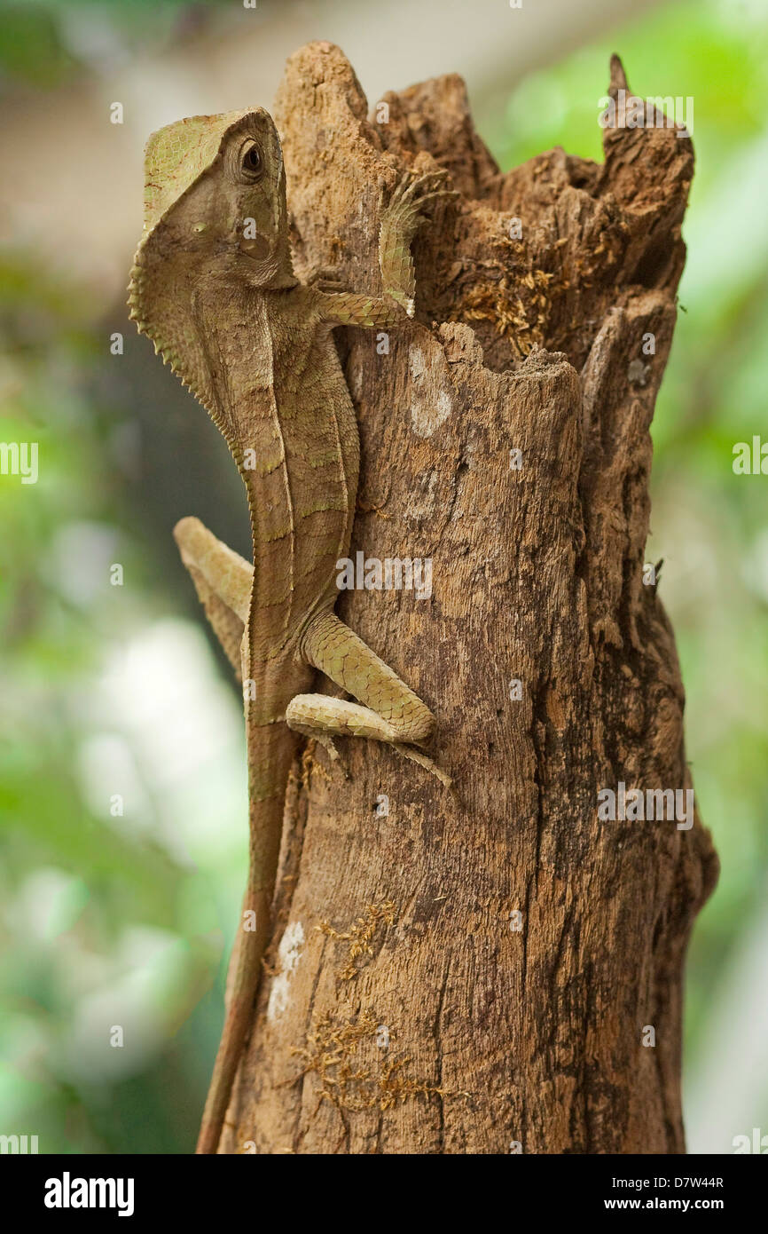 Helmeted Iguana or Forest Chameleon (Corytophanes cristatus), Arenal, Alajuela Province, Costa Rica - Stock Image