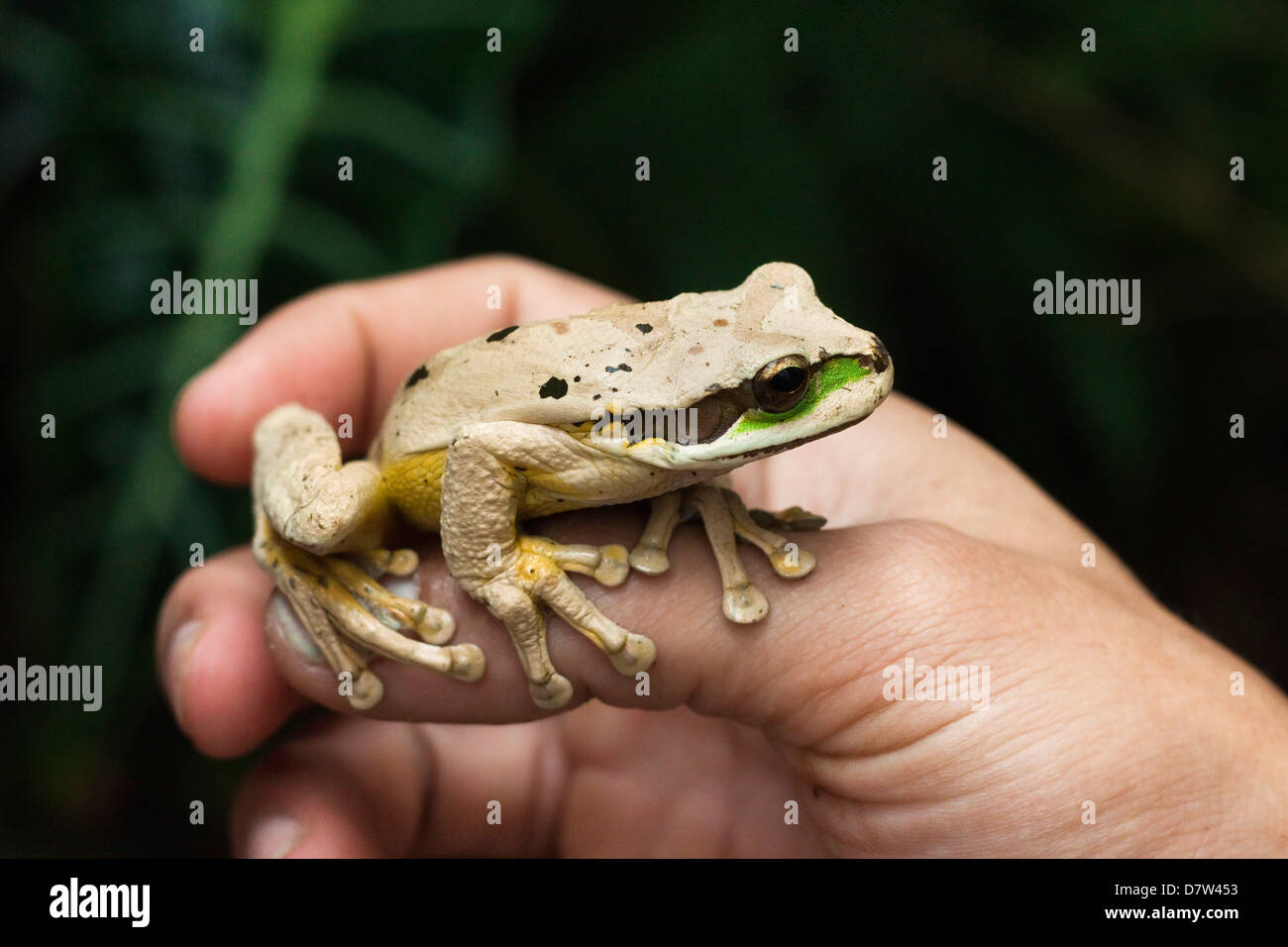 Masked tree frog (Smilisca phaeota), one of 133 species in the country, Arenal, Alajuela Province, Costa Rica - Stock Image