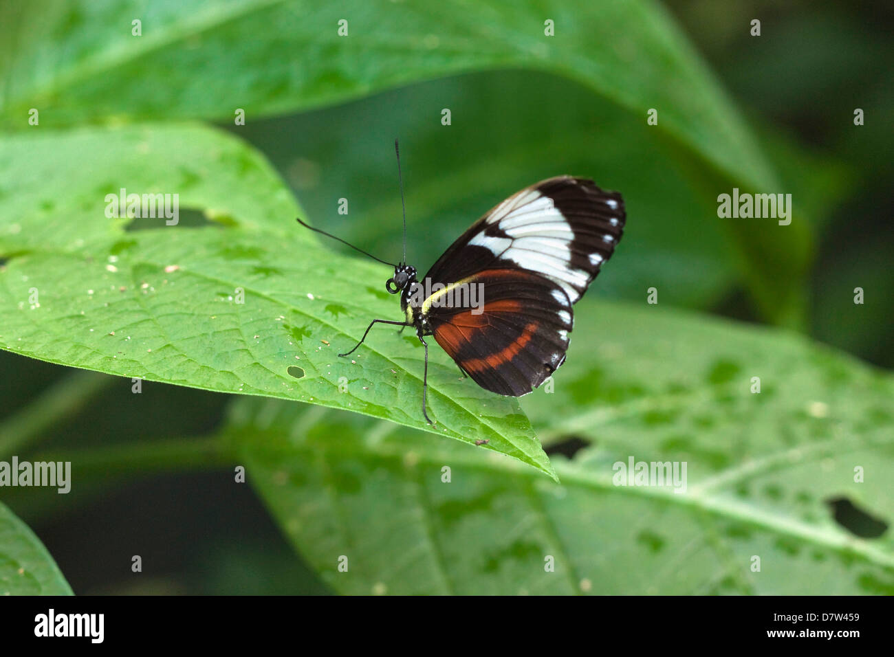 Mechanitis polymnia isthmia butterfly, a common species in Costa Rica; Arenal, Alajuela Province, Costa Rica - Stock Image