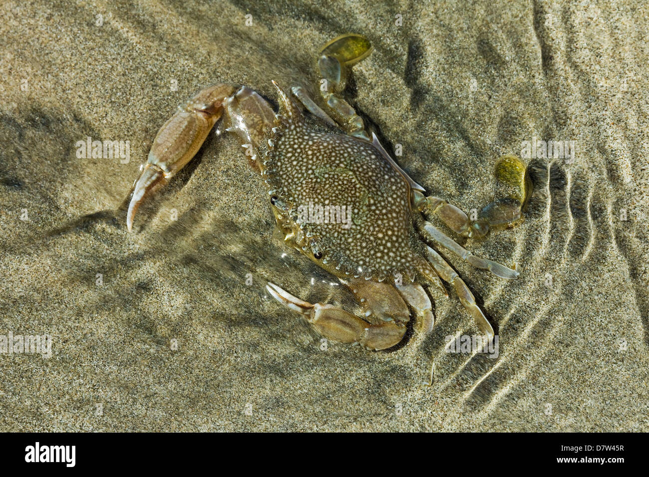 Superbly camouflaged crab on Playa Guiones beach, Nosara, Nicoya Peninsula, Guanacaste Province, Costa Rica - Stock Image