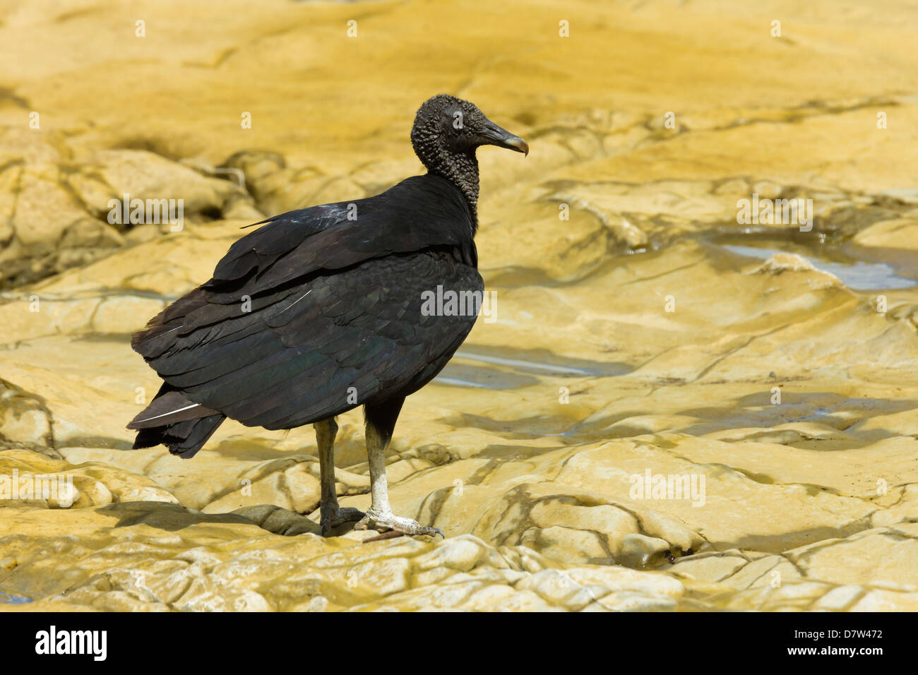 South American black vulture, a common scavenger, at a river mouth; Nosara, Nicoya Peninsula, Guanacaste Province, - Stock Image