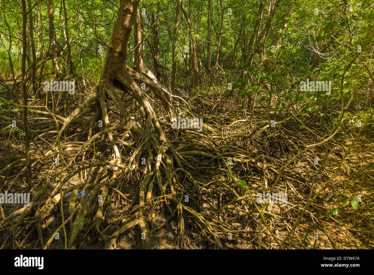 Mangrove forest in the Biological Reserve near the Nosara River mouth; Nosara, Nicoya Peninsula, Guanacaste Province, - Stock Image