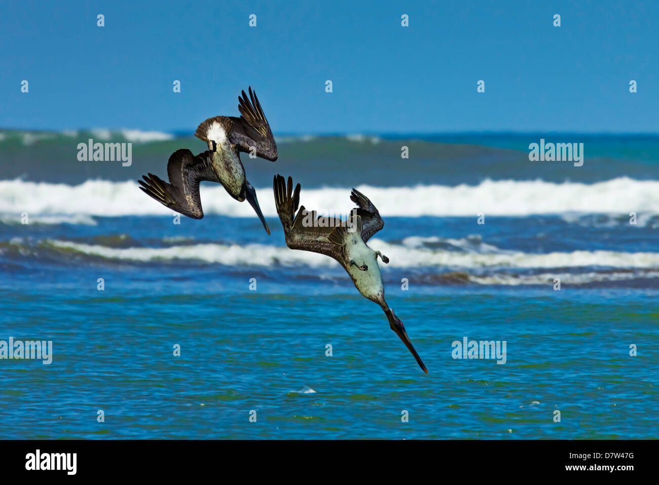 Pair of Brown Pelicans (Pelecanus occidentalis) dive for fish at the Nosara River mouth, Nosara, Guanacaste Province, - Stock Image