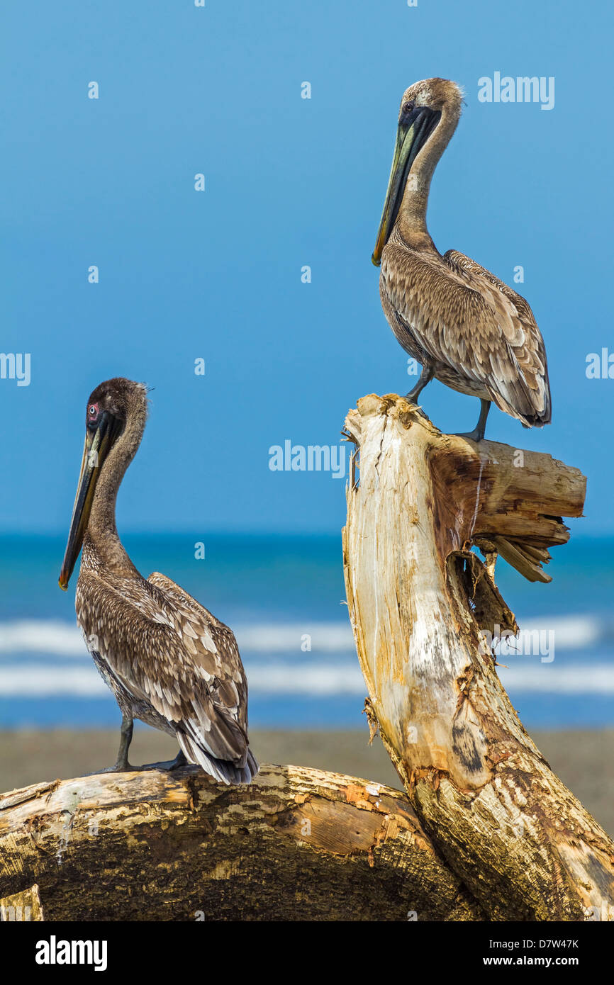Pair of Brown Pelicans (Pelecanus occidentalis) perched at the Nosara River mouth, Nosara, Guanacaste Province, - Stock Image