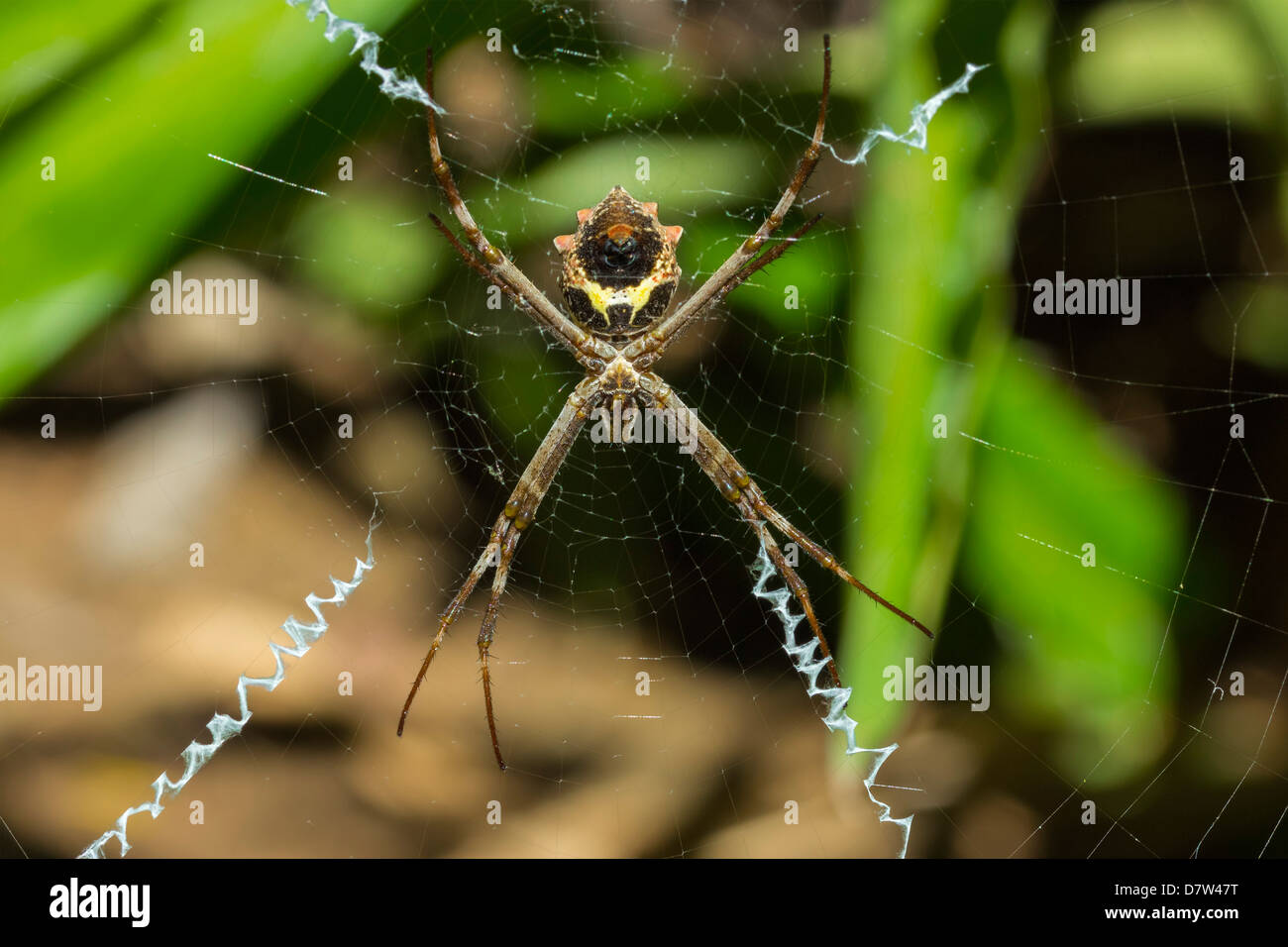 Yellow & black garden spider (Argiope Aurentia) with normal zigzag stabilimentia on web; Nosara, Guanacaste - Stock Image