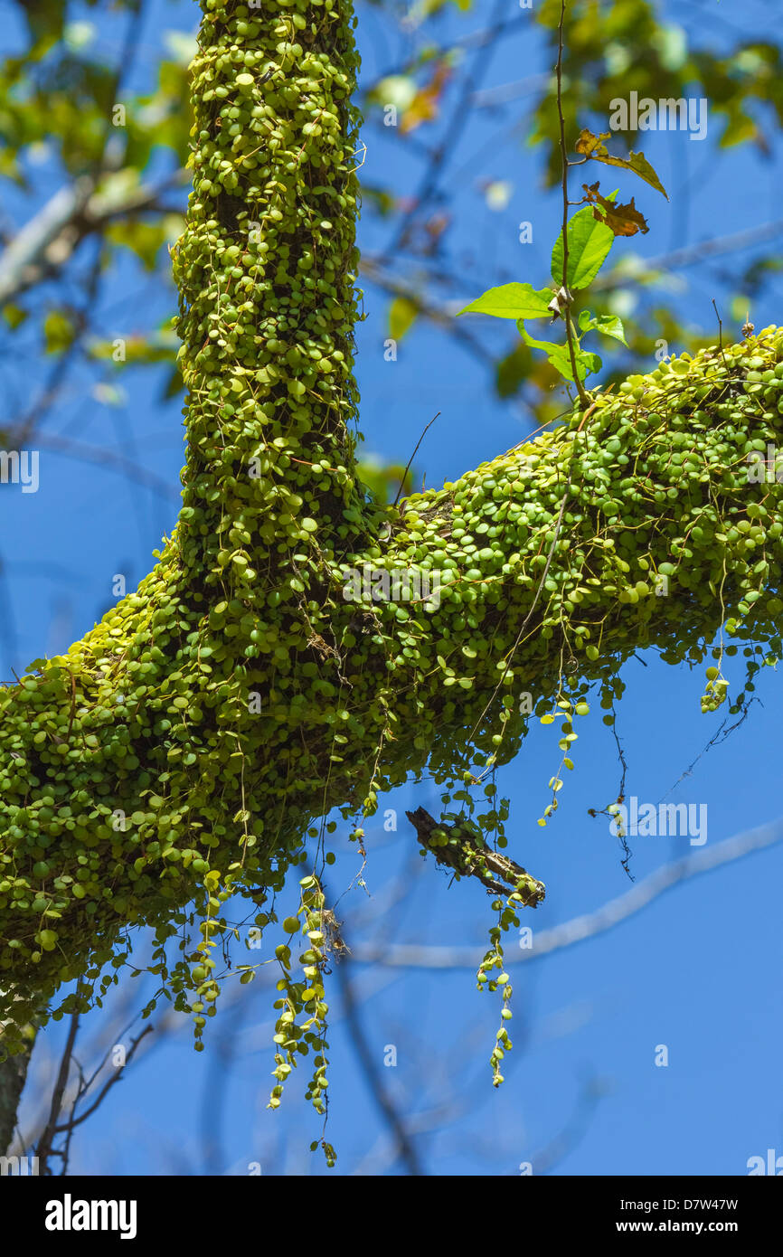 Peperomia Rotundifolia (Creeping Buttons) a creeping epiphyte on a tree, Nosara River, Nosara, Guanacaste Province, - Stock Image