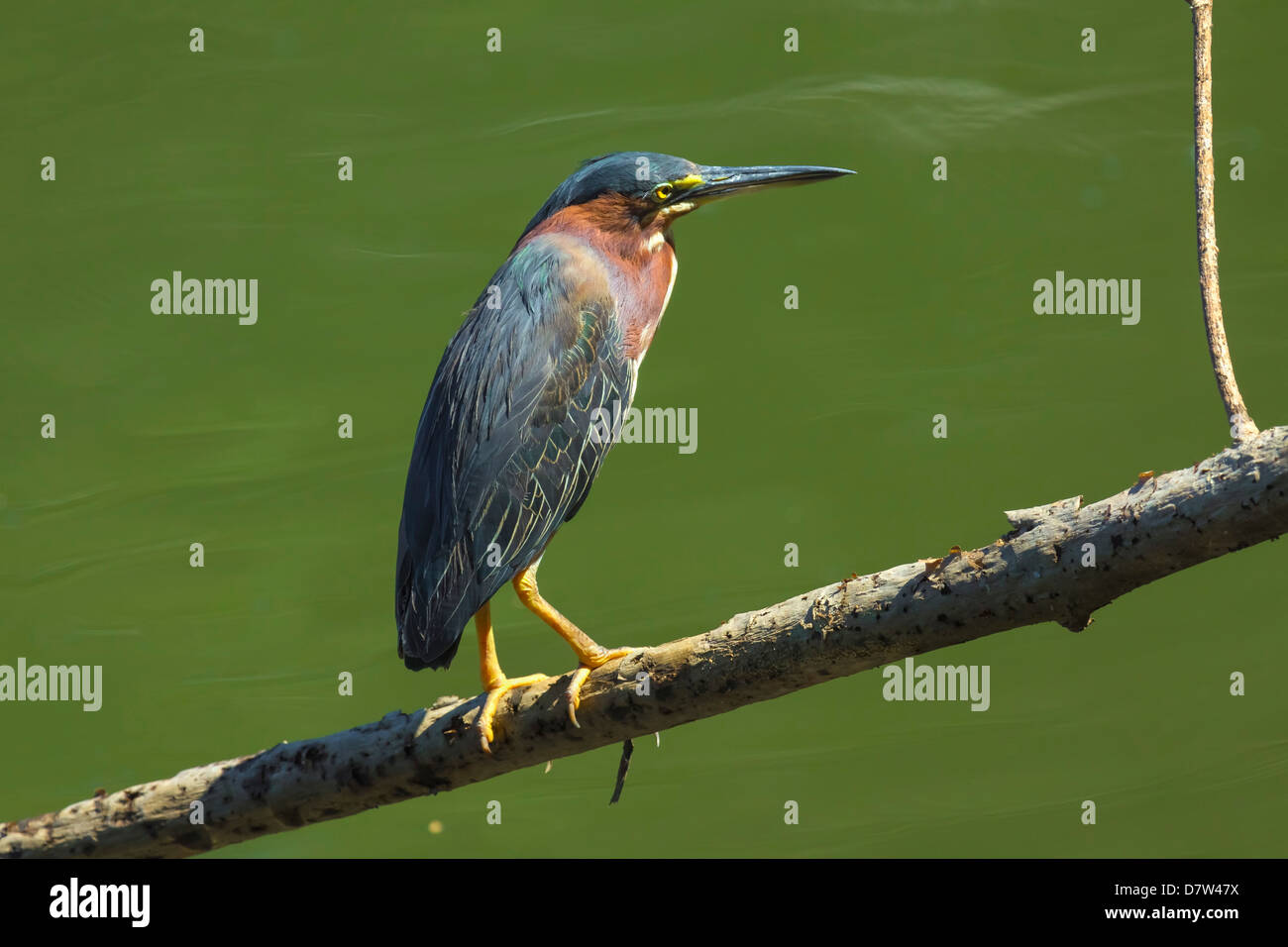 Green Heron (Butorides virescens) by the Nosara River at the Biological Reserve, Nosara, Guanacaste Province, Costa - Stock Image