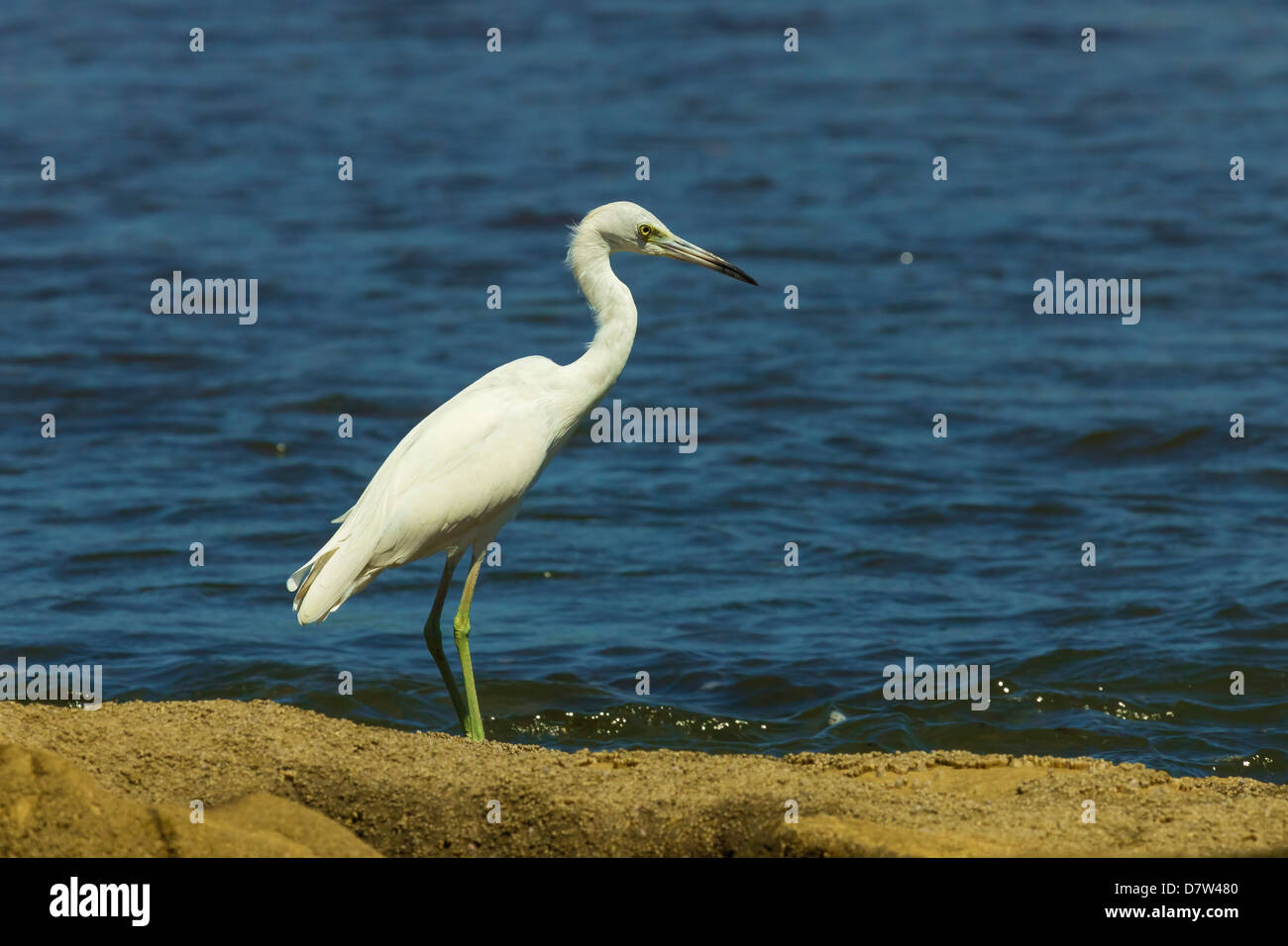 Snowy Egret (Egretta thula) by the Nosara River mouth near the Biological Reserve, Nosara, Guanacaste Province, - Stock Image