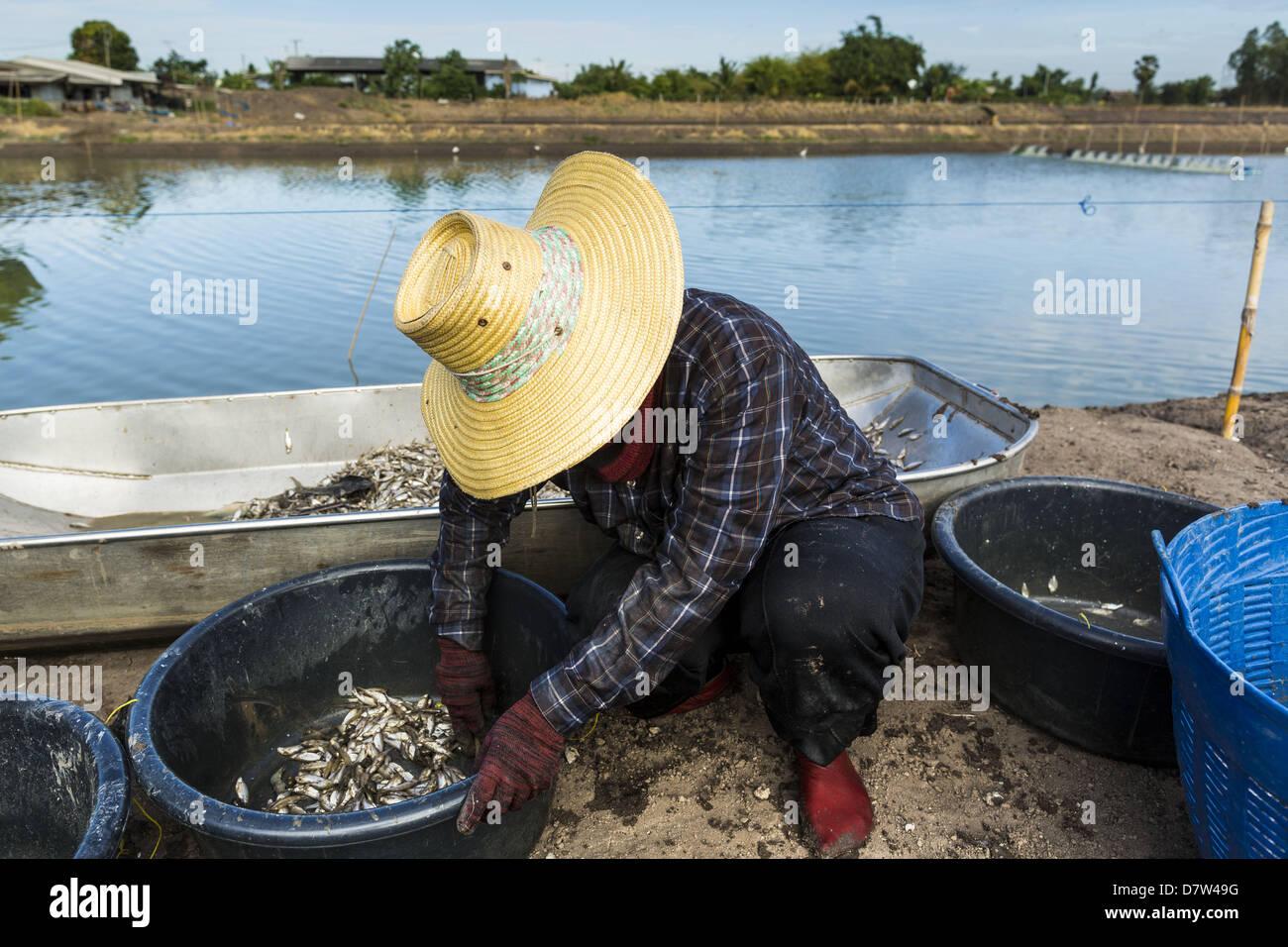 Bangtathen, Saphun Buri, Thailand. May 14, 2013. A worker sorts shrimp in Saphunburi province of Thailand. Early Stock Photo