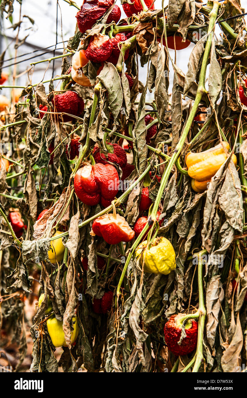 Due to economic considerations Bell Peppers were not harvested and left to dry in the field Stock Photo