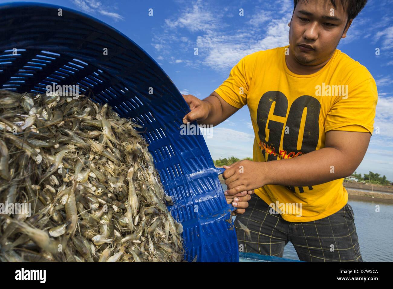 May 14, 2013 - Bangtathen, Saphun Buri, Thailand - A man dumps baskets of shrimp into a water tank on the back of Stock Photo