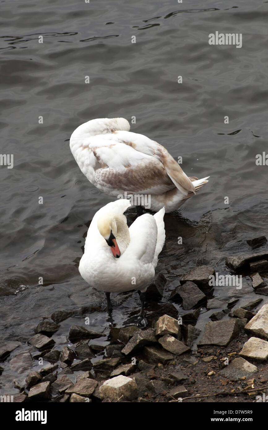 2 young swans on the Moldau Riverbanks, one has not yet got all it's white feathers. - Stock Image