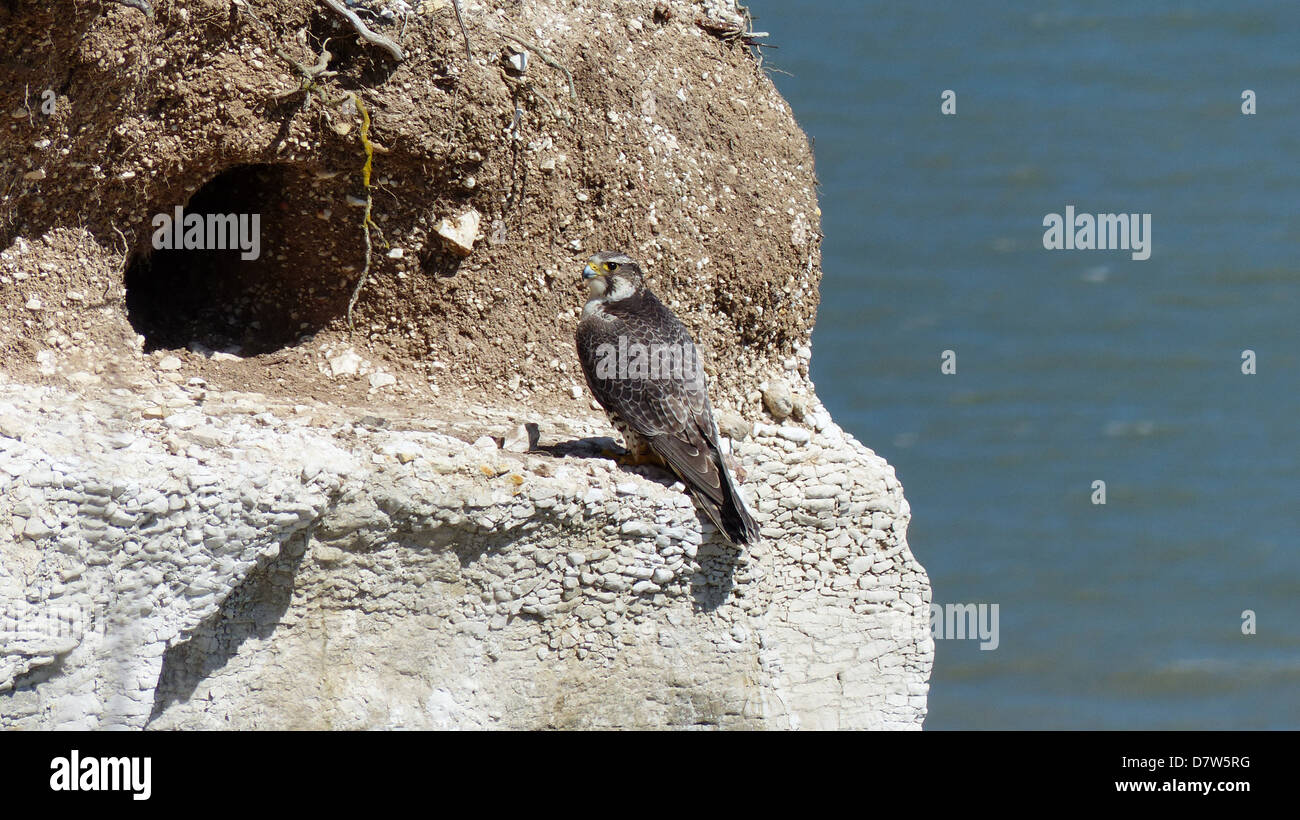 a peregrine falcon resting at its nest site on a cliffs