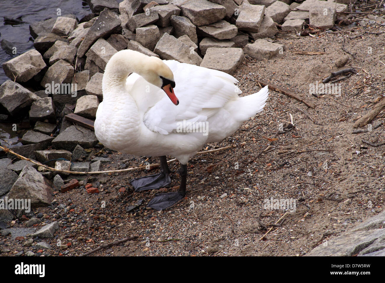 A white Swan standing on the Riverbanks at Moldau in Prague, behind is rocks and the river. - Stock Image