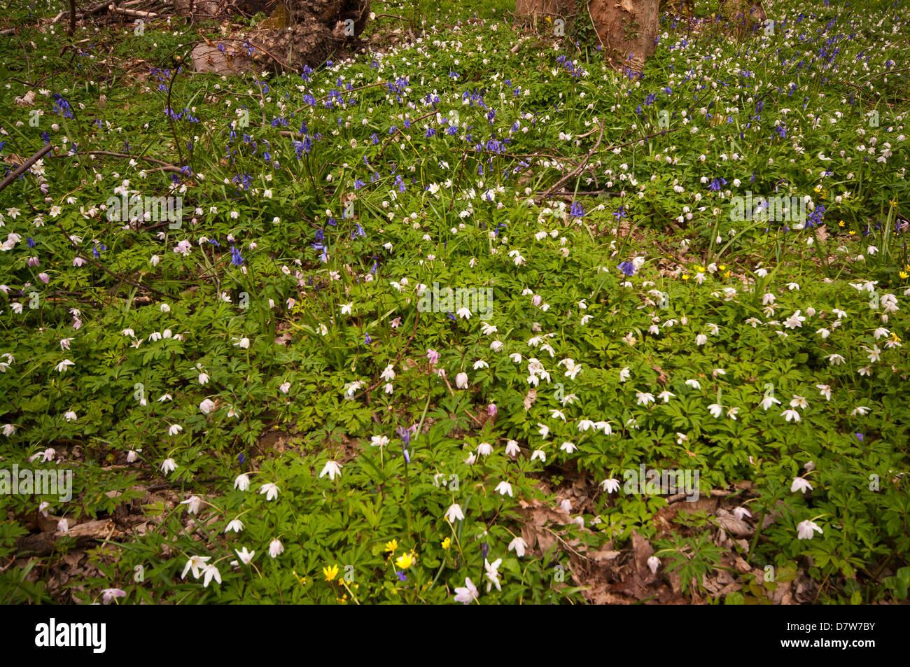 Woodland Spring Flowers Uk Stock Photo 56488319 Alamy