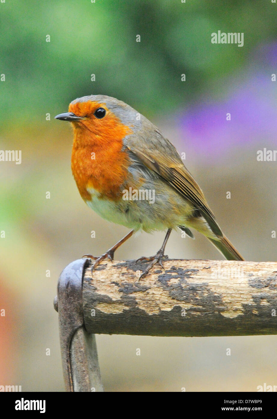 A classic view of a Robin European Robin (Erithacus rubecula) - Stock Image