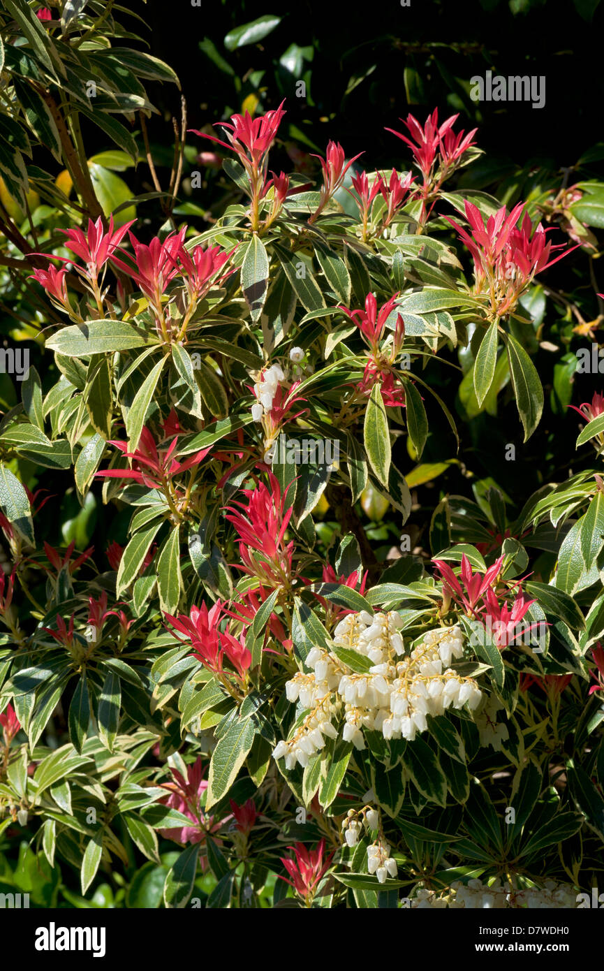 Pieris Forestii With New Red Leaves And White Spring Flowers Stock