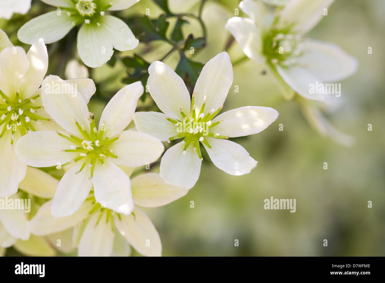 Spring flowering clematis stock photos spring flowering clematis evergreen spring flowering clematis mightylinksfo Gallery