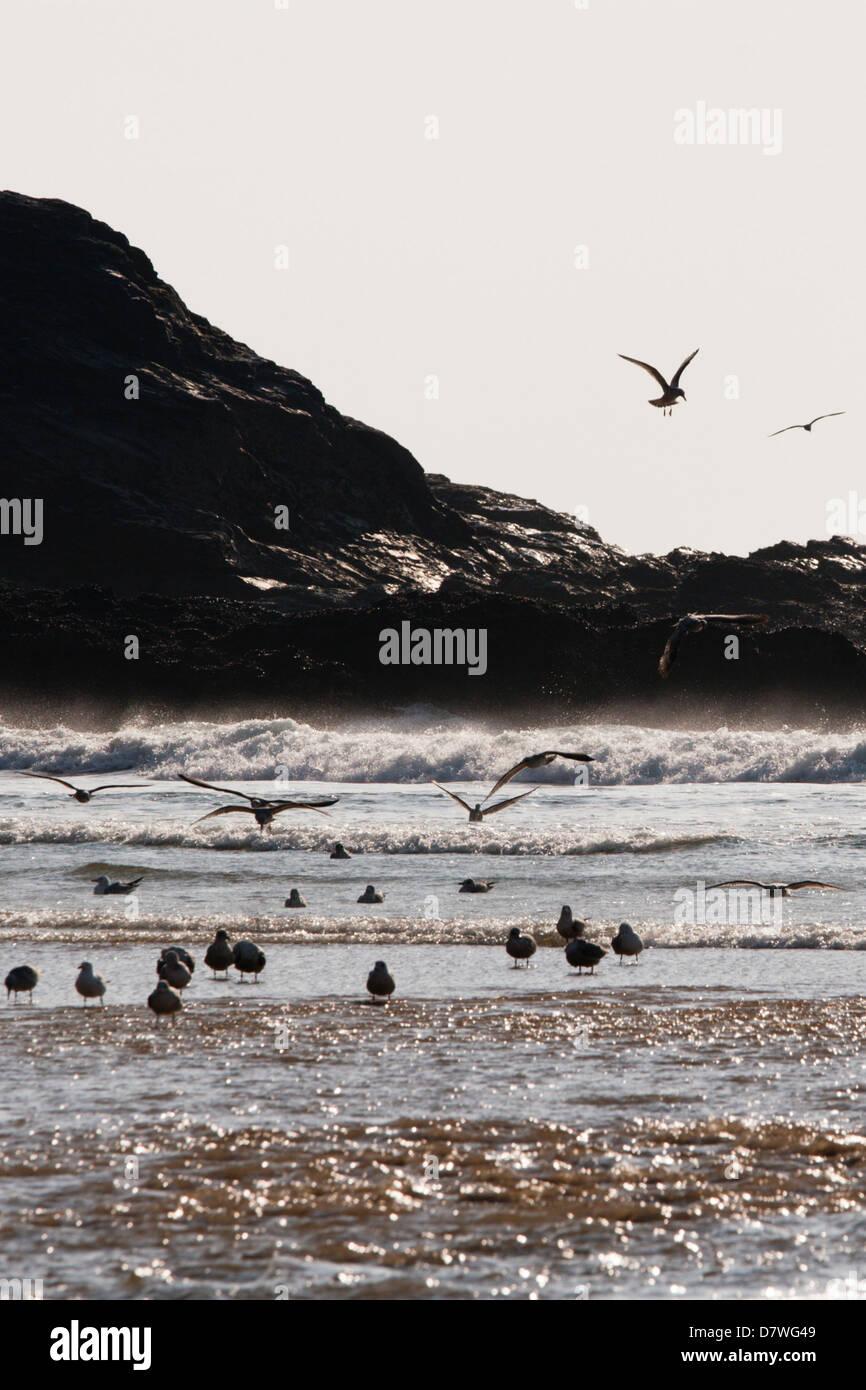 Herring Gulls in the surf - Stock Image