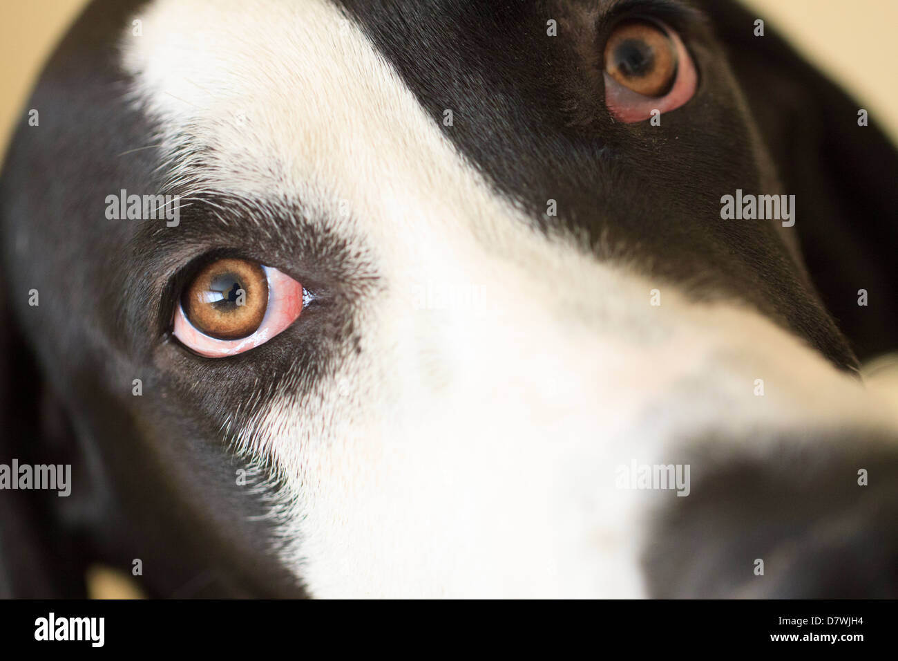 Great Dane Staring - Stock Image