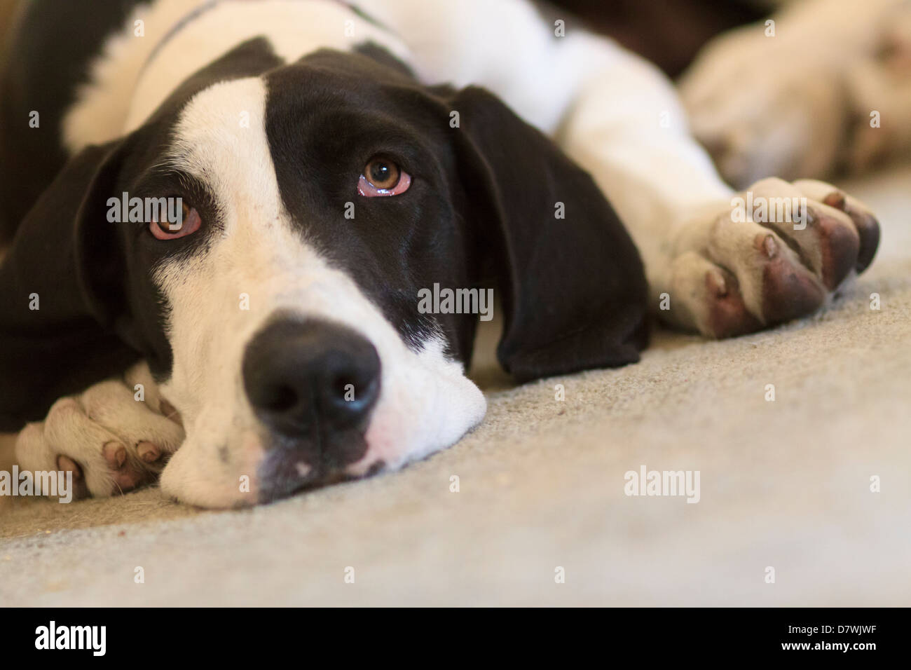 Great Dane Staring 2 - Stock Image