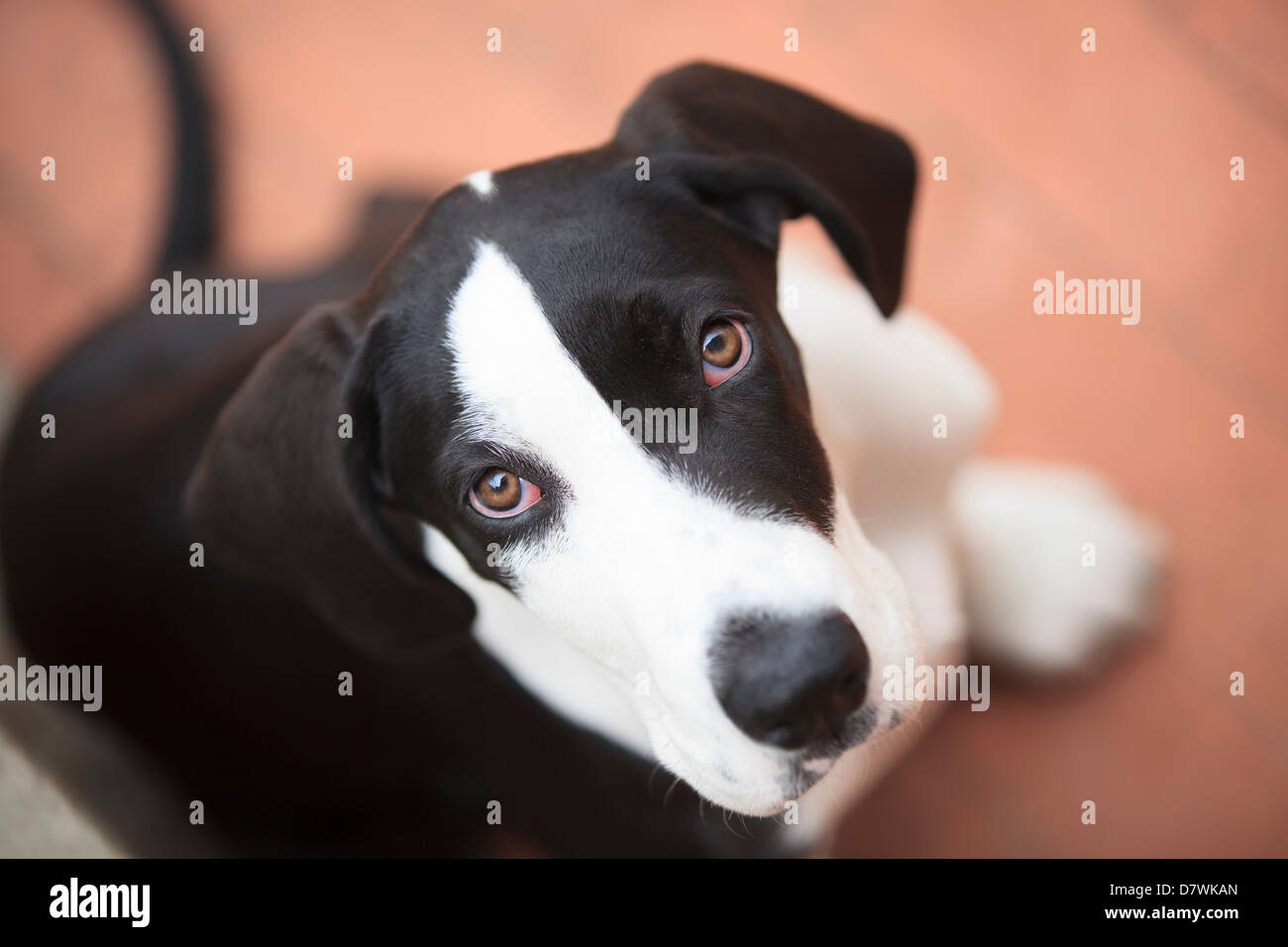 Puppy Great Dane Looking - Stock Image