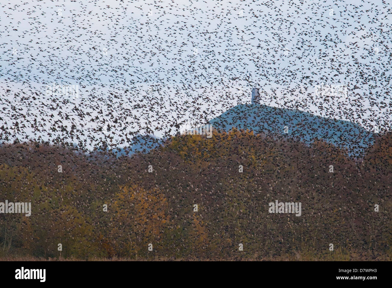 Starling murmuration Nr Glastonbury Tor - Stock Image