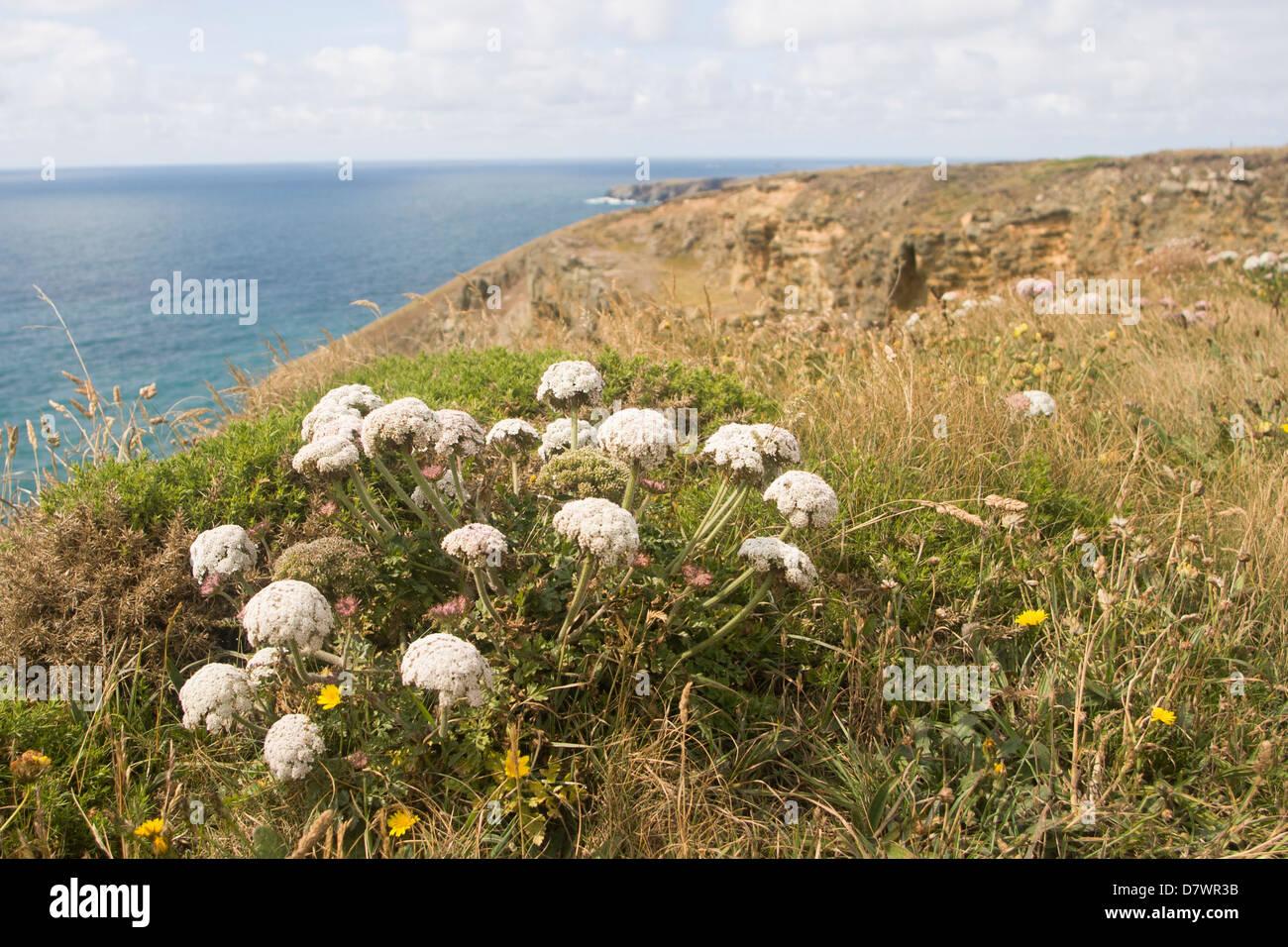 Cornish coastal path flora, Apiaceae Stock Photo