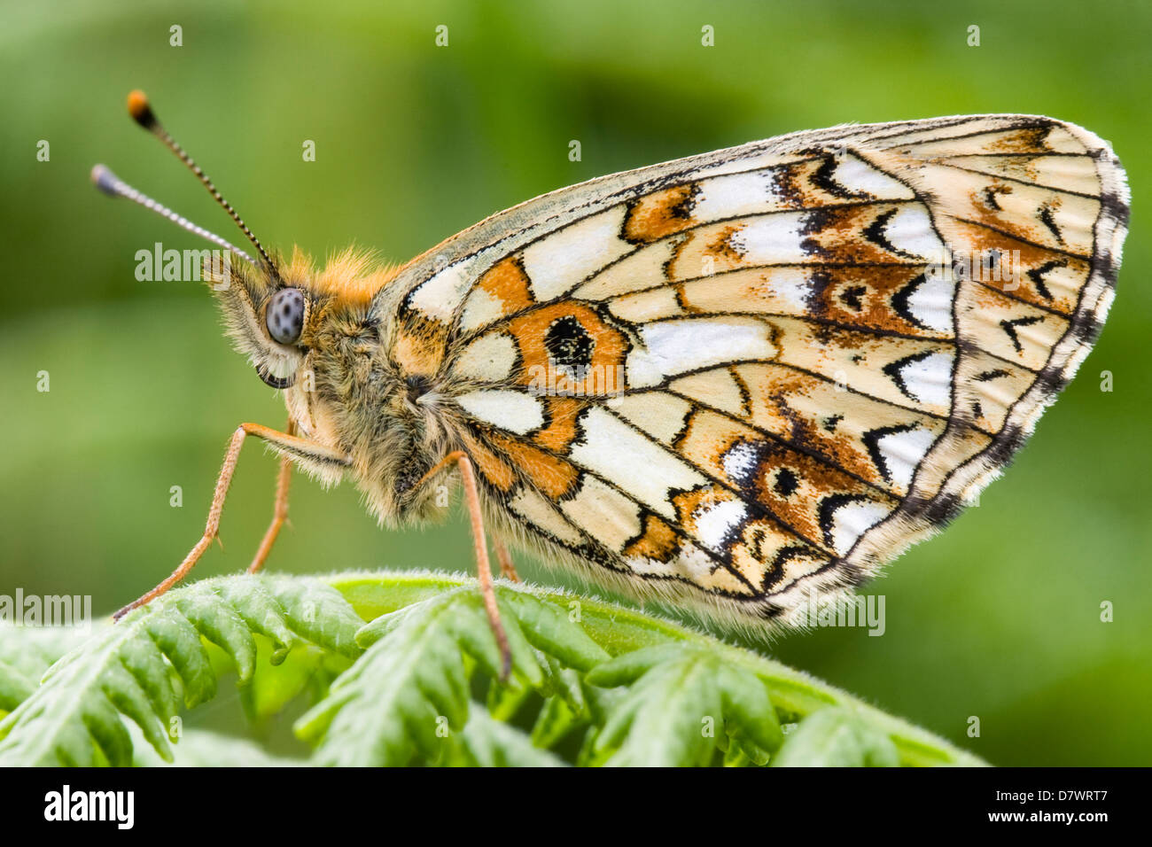 Small Pearl-bordered Fritillary - Boloria seleneStock Photo