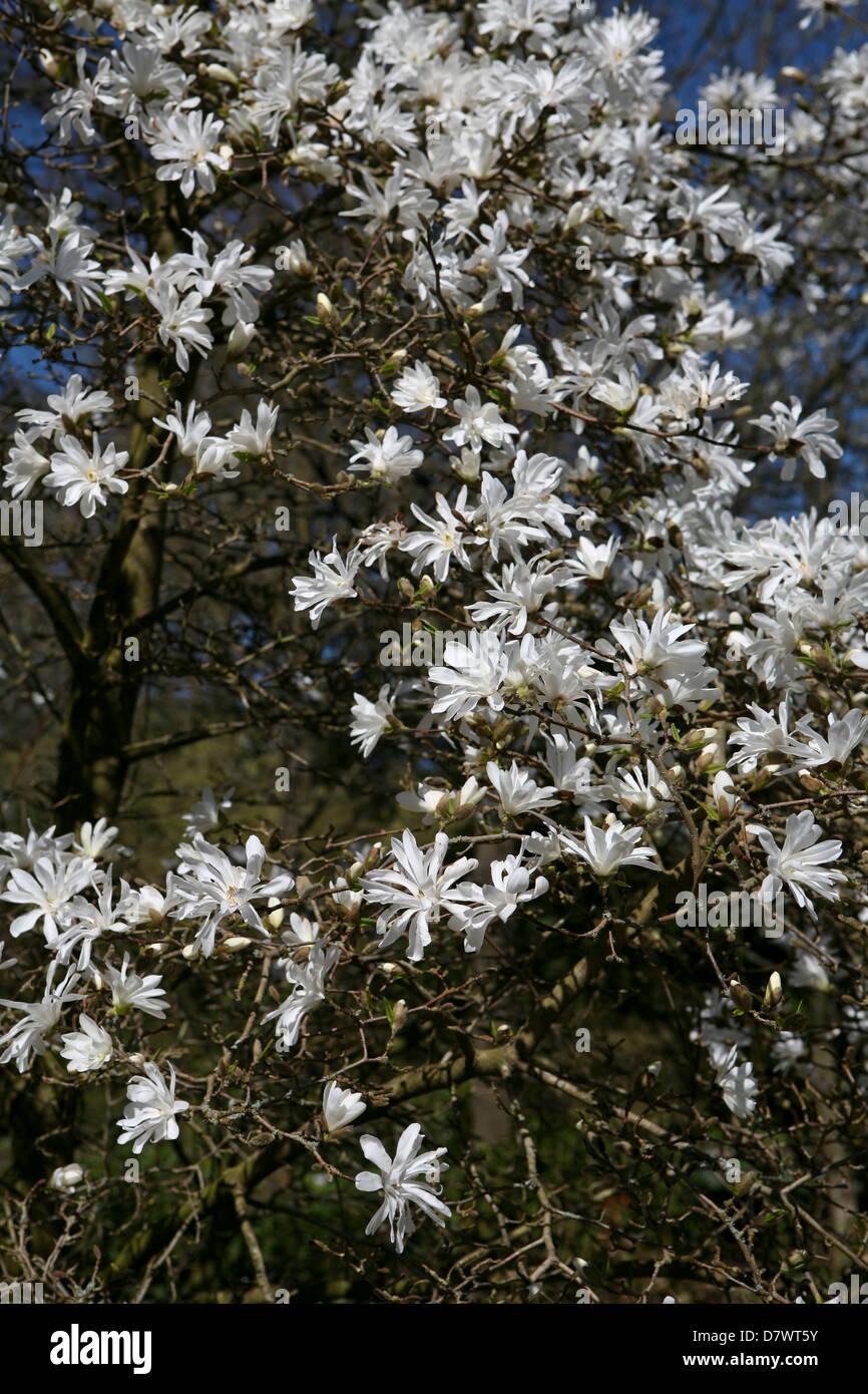 Star Magnolia Tree Magnolia Stellata In Flower Stock Photo