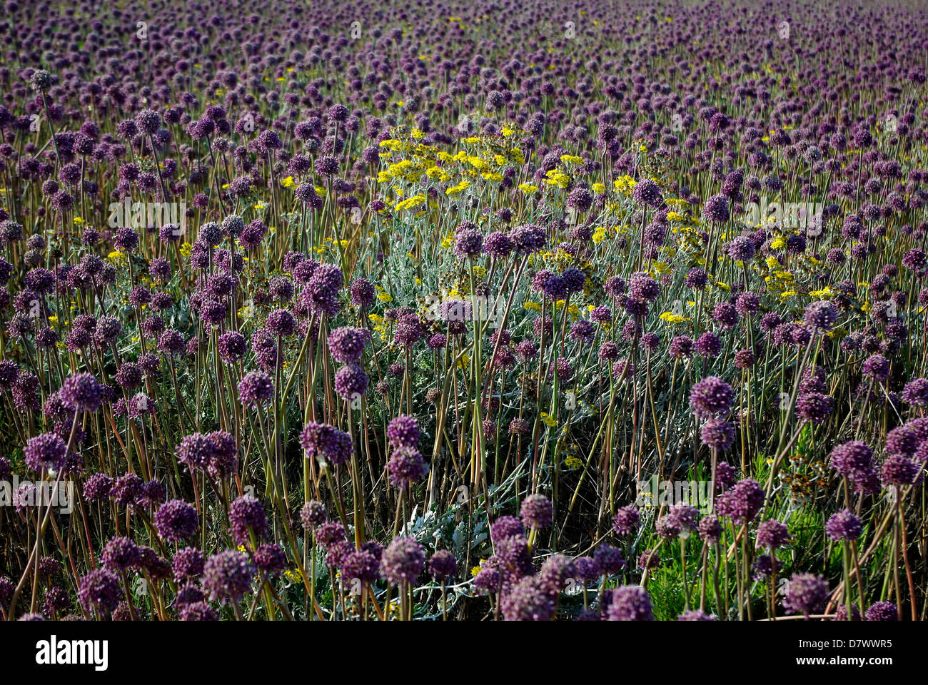 Purple Weed Field With Random Yellow Flowers At Sunny Summer Day