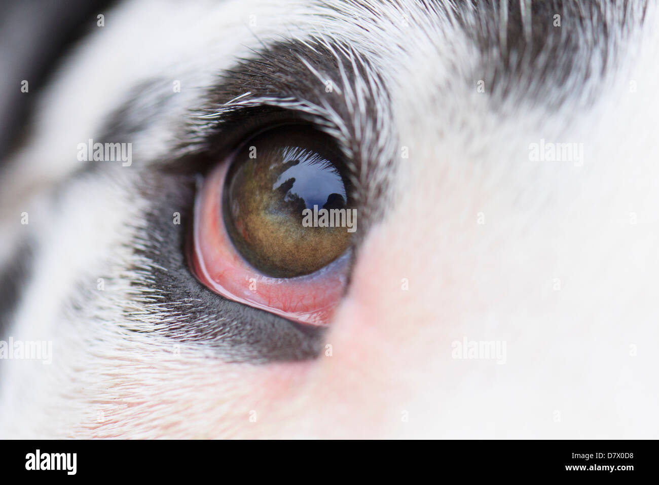 Great Dane Eyes - Stock Image