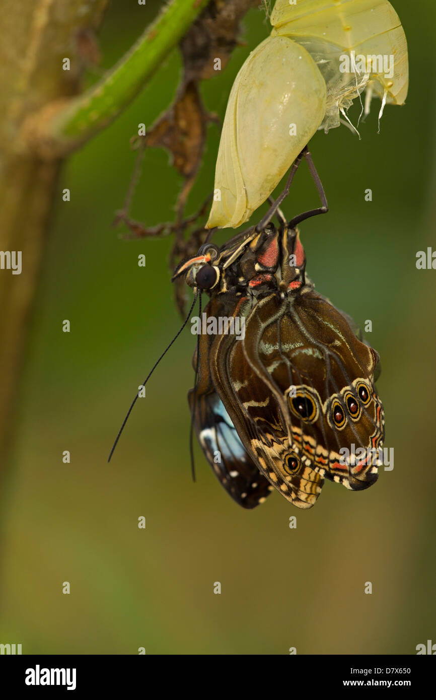 Blue Morpho (Morpho peleides) , tropical rainforest, Costa Rica part of sequence (5 of 10) adult emerging from chrysalis - Stock Image