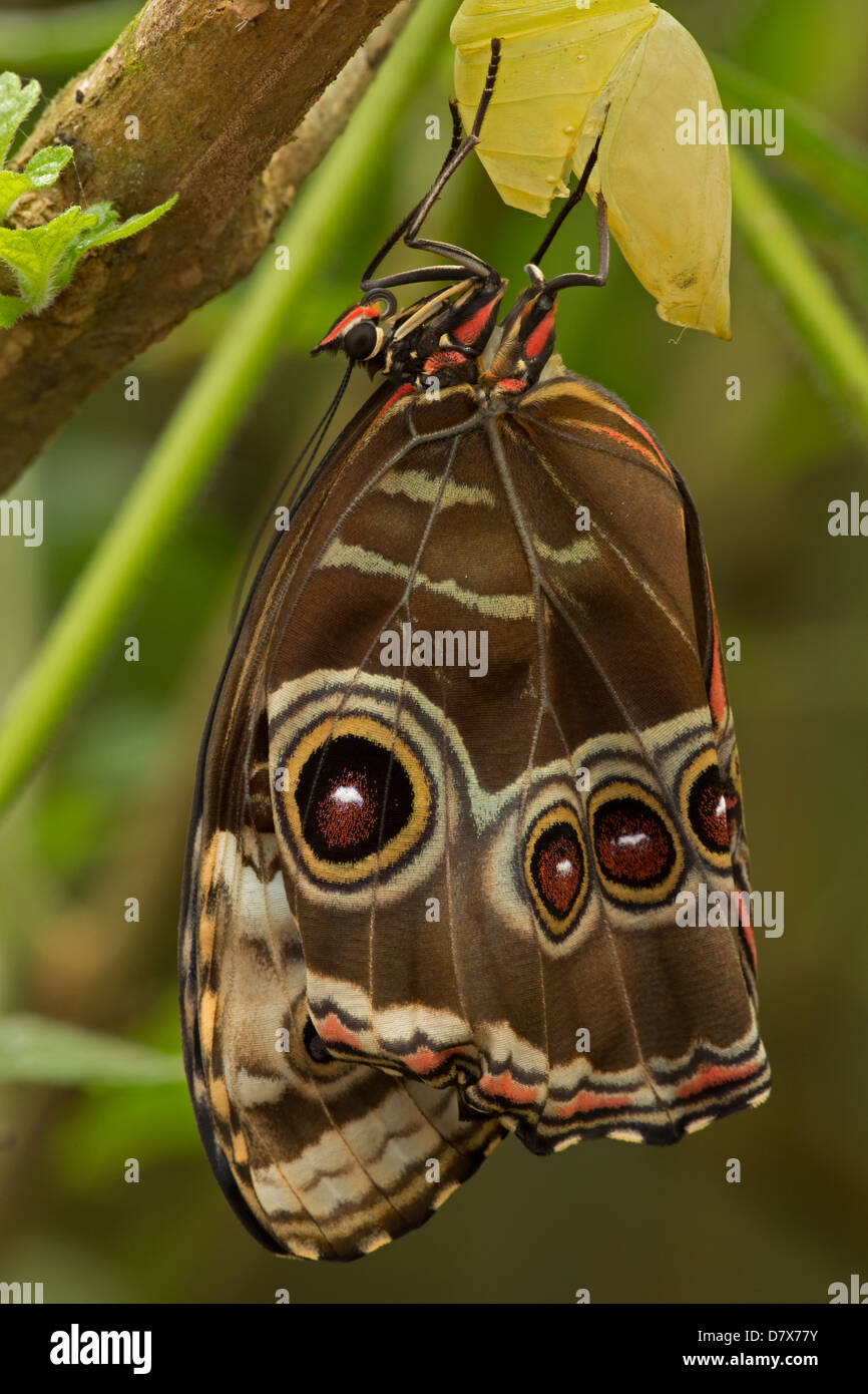 Blue Morpho (Morpho peleides) , tropical rainforest, Costa Rica part of sequence (10 of 10) adult emerging from - Stock Image