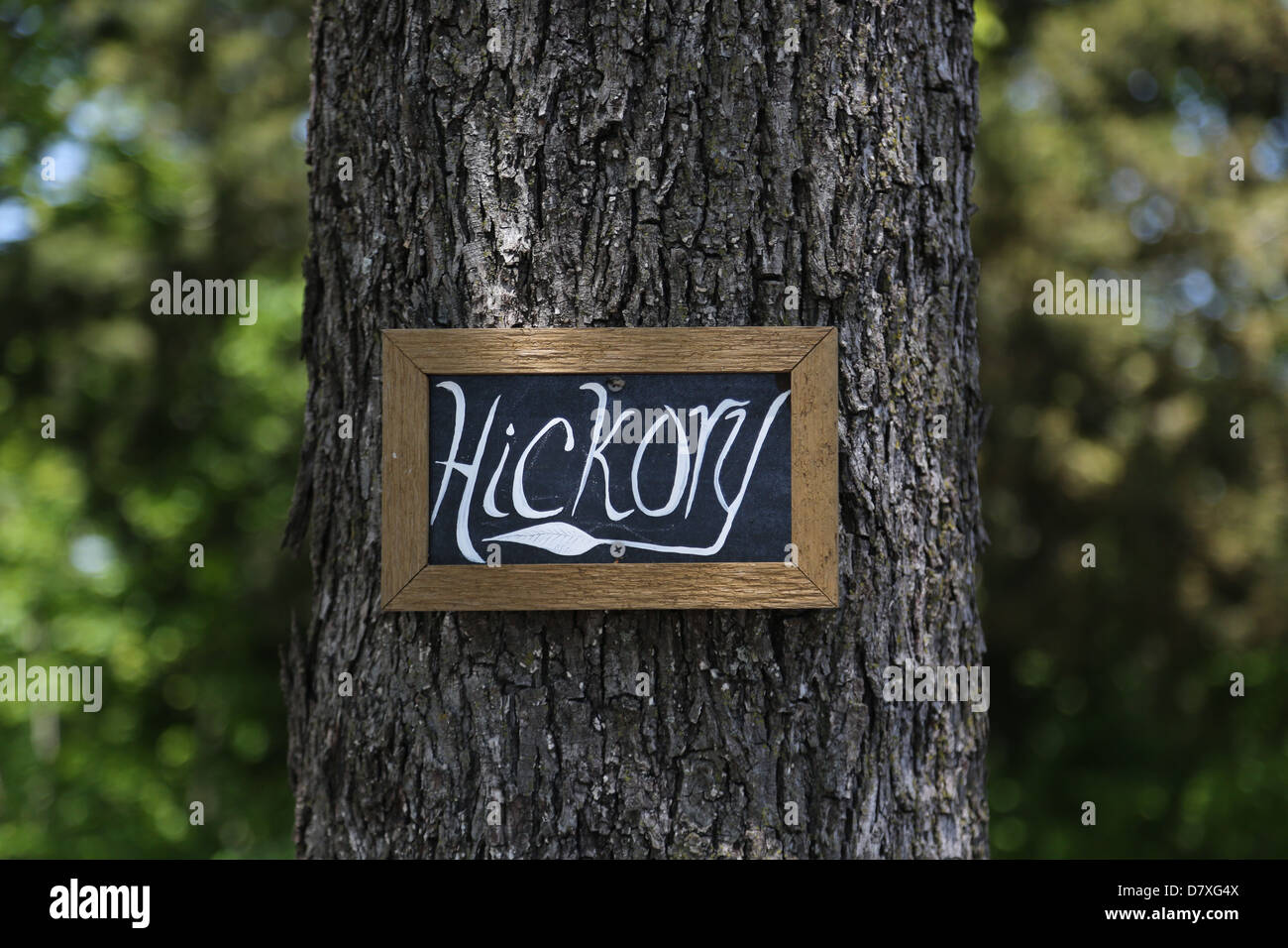 The trunk of a hickory tree labeled with an identifying sign. - Stock Image