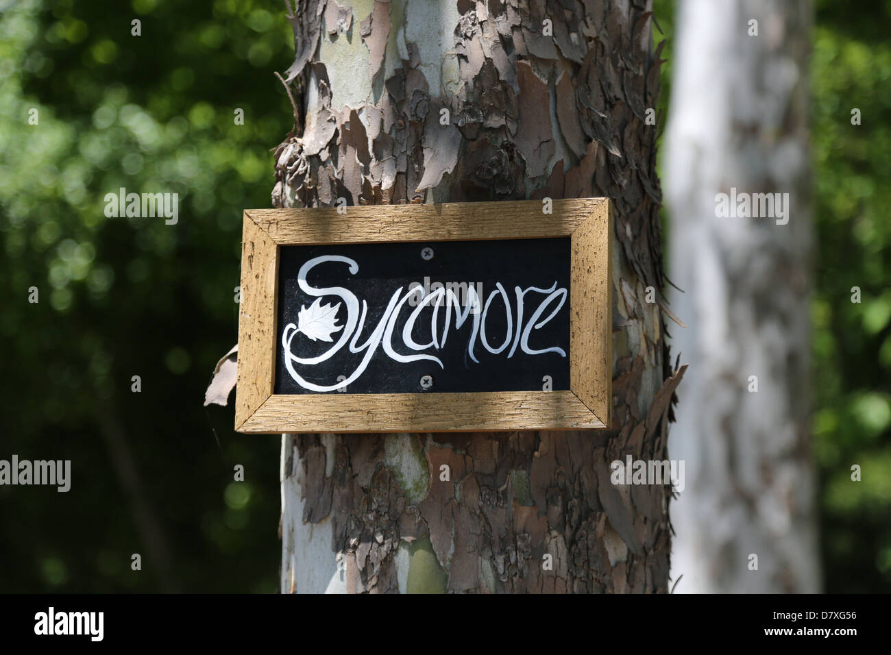 The trunk of a sycamore tree labeled with an identifying sign. - Stock Image