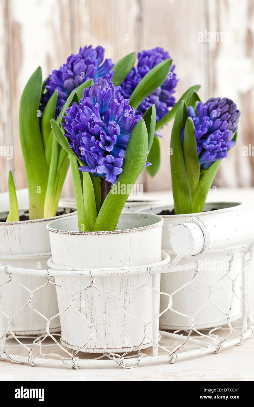 Portrait shot of blue and purple hyacinth flowers in white pots against a worn timber background. - Stock Image