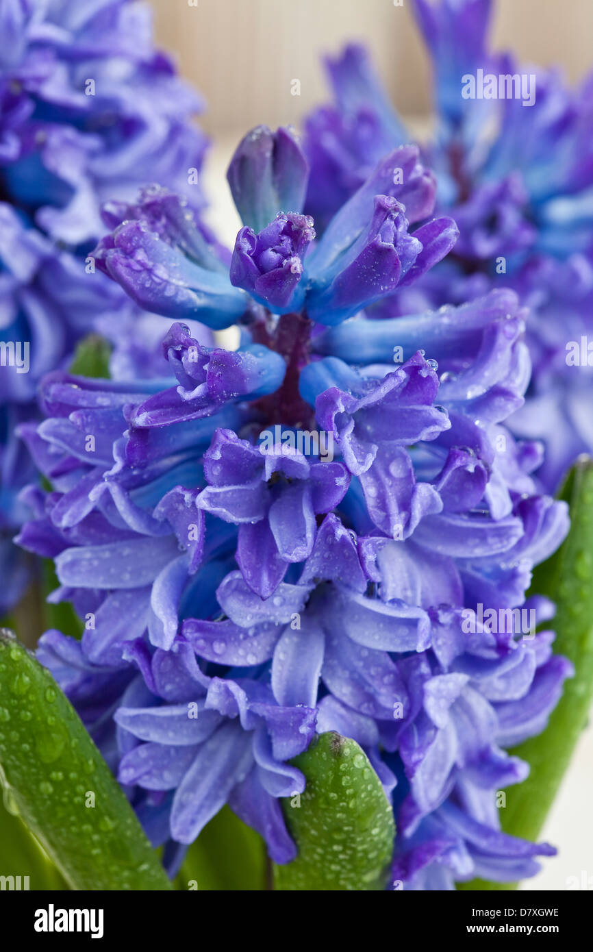 Portrait shot of blue and purple hyacinth flowers against a worn timber background. - Stock Image