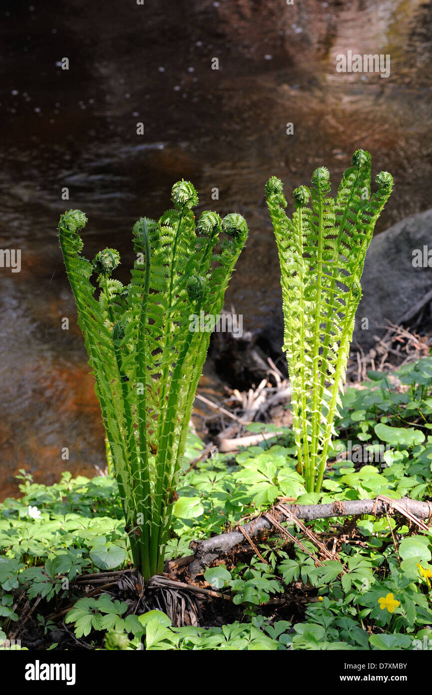 Leaves of shuttlecock fern (Matteuccia struthiopteris) on a riverbank in the middle of May - Stock Image