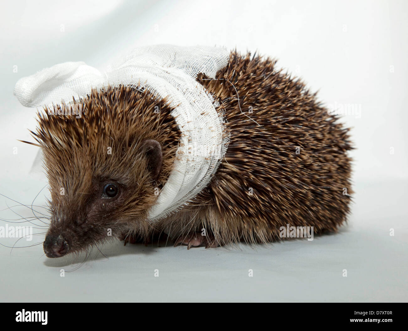 European Hedgehog with bandage on neck - Stock Image