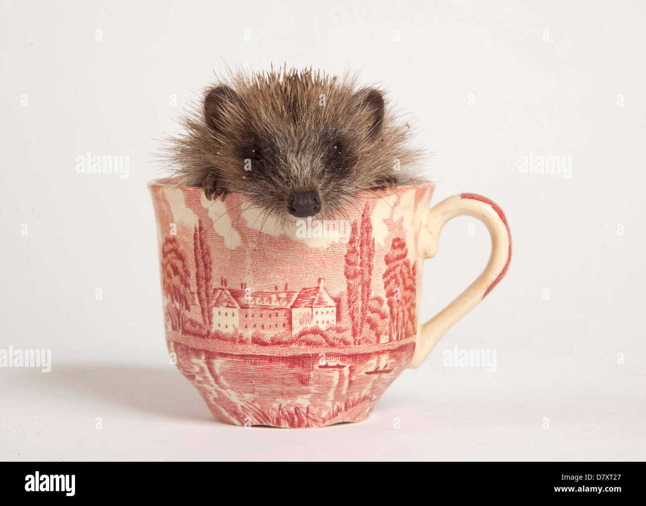Juvenile Hedgehog in Cup - Stock Image