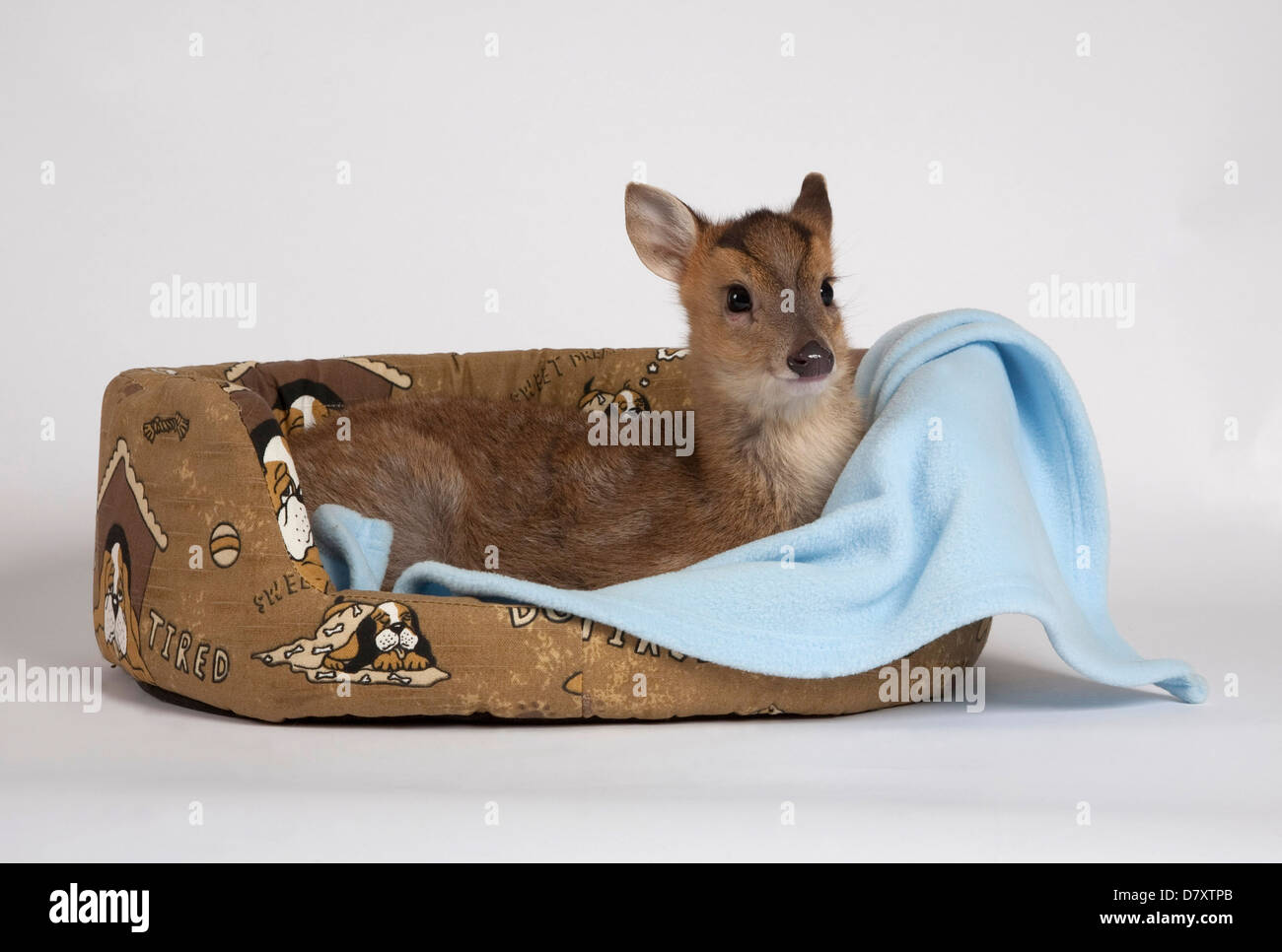 Muntjac Deer Fawn in dog bed - Stock Image