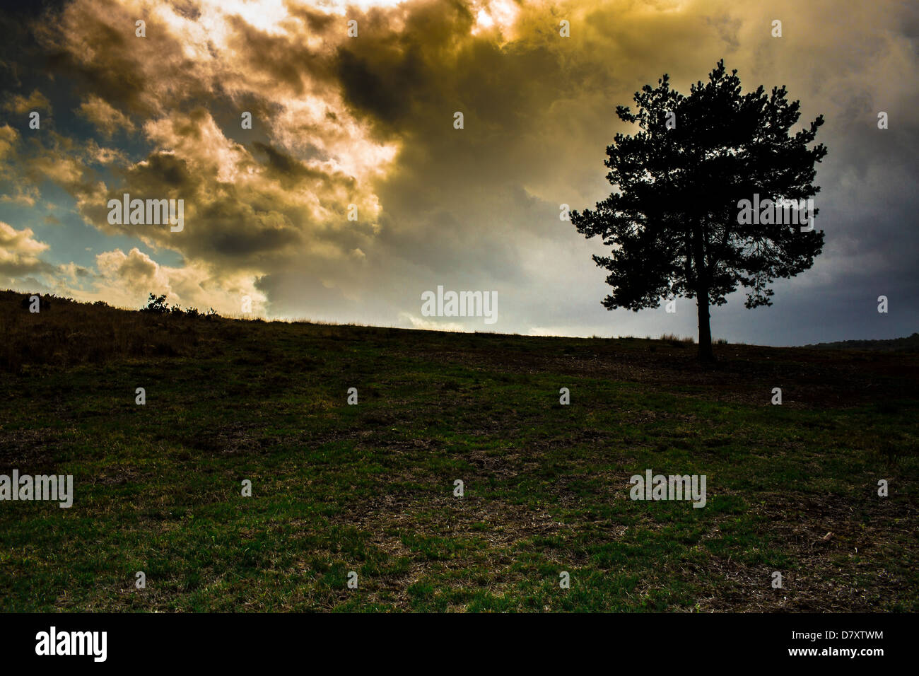 A Lone Tree before a Squall Ashdown Forest East Sussex England - Stock Image