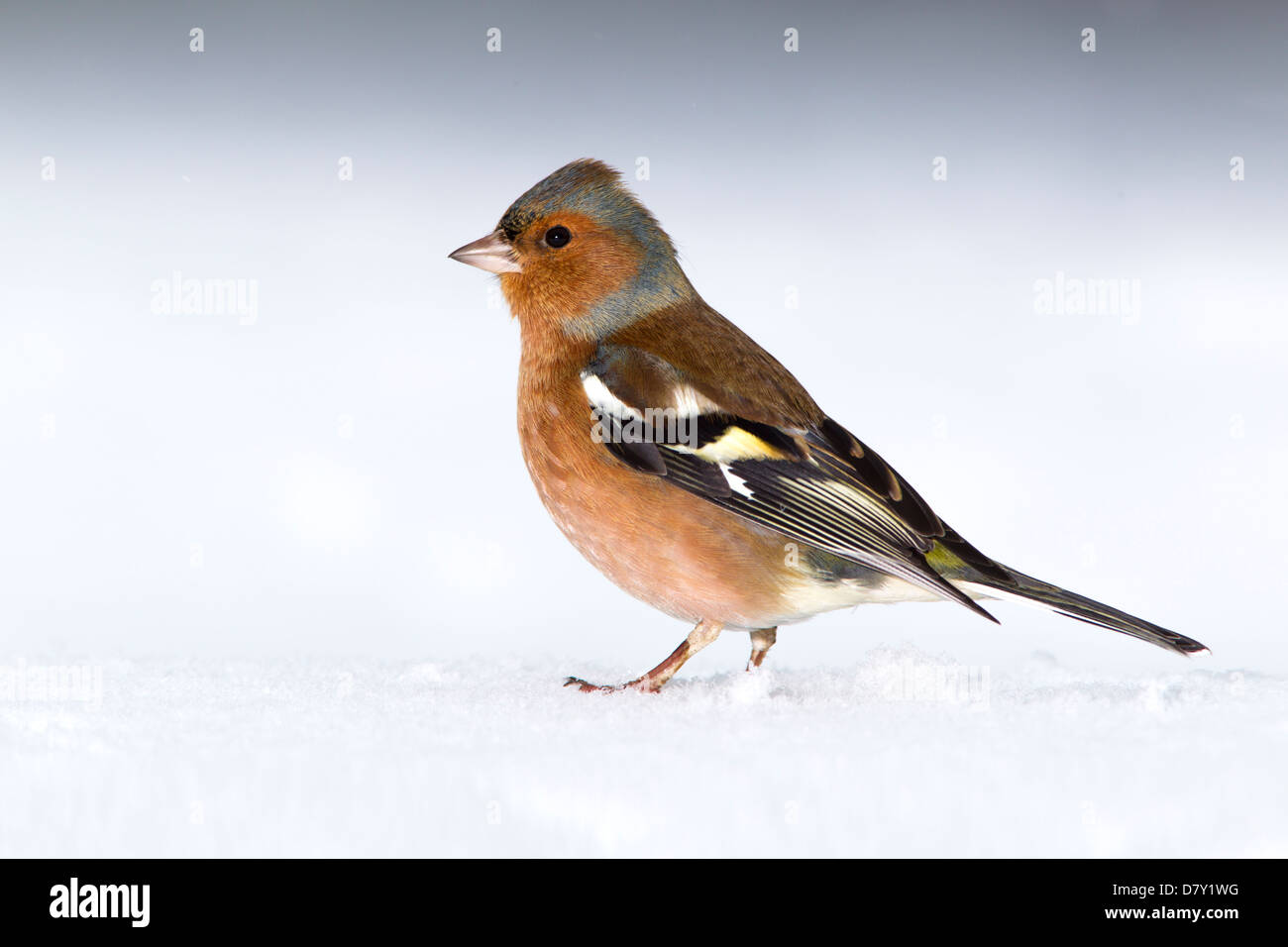 CHAFFINCH ON SNOW - Stock Image