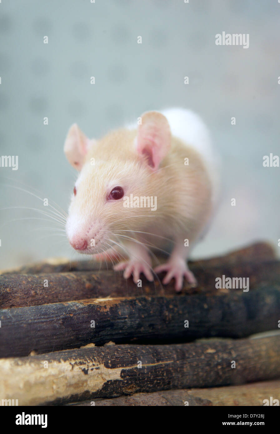 Pet rat Single adult on a log UK - Stock Image