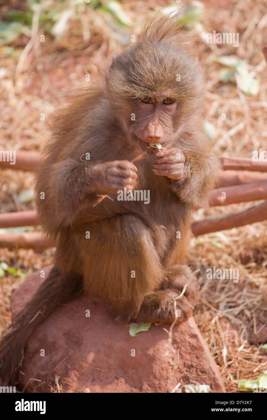 Hamadryas Baboon Papio hamadryas Single adult femail eating UK, captive - Stock Image