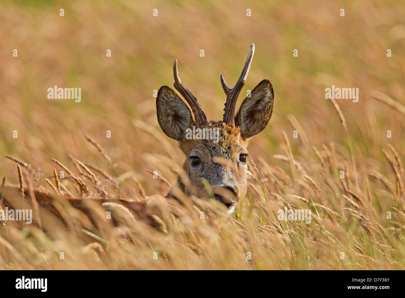Roe deer (Capreolus capreolus) roebuck with deformed antler in cornfield in june - Stock Image