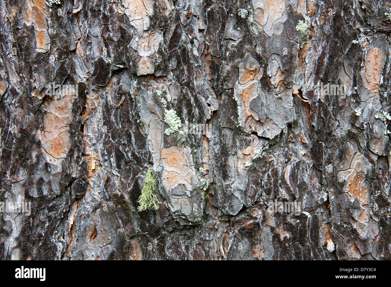 Scots pine bark (Pinus sylvestris) close-up - Stock Image